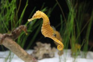 Yellow Sea Horse in Aquarium